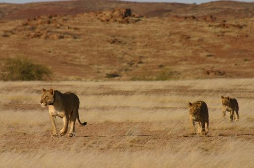 Desert Lions crossing - Dr Flip Stander